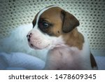 Small Cute Boxer Puppy Looking...