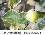 cydonia oblonga in the family... | Shutterstock . vector #1478705375