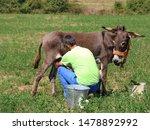Farmer Milking  Donkey In The...