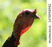 Closeup Of A Wild Turkey