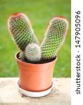 Small photo of Acanthoid cactus blooming pink flowers in flowerpot, plant grow in garden, standing on wooden board.