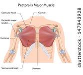Pectoralis Major Muscle ...