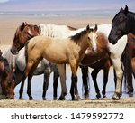 Buckskin foal stands at the waterhole on a very hot summers day, Simpson Springs, Great Basin desert, Utah, with other members of the Onaqui wild horse herd in the background.
