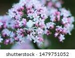 Pink Verbena Inflorescence And...