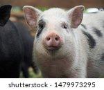 Pot Bellied Pig. Portrait Of A...
