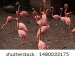 flamingos live in large flocks.   Shutterstock . vector #1480033175