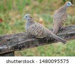 A Pair Of Zebra Doves  Geopeli...