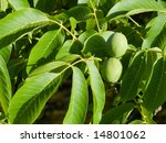 Fronds Of Walnut Tree With...