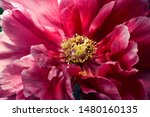Variety Peony Bud With Red...