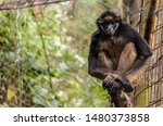 White Bellied Spider Monkey...