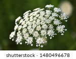 Close Up Of Queen Anne's Lace...