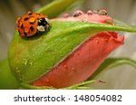 Macro Image Of Ladybug On Rose...