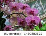 phalaenopsis  is the genus of...   Shutterstock . vector #1480583822