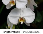 phalaenopsis  is the genus of...   Shutterstock . vector #1480583828