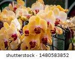 phalaenopsis  is the genus of...   Shutterstock . vector #1480583852