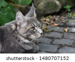 Stock photo  portrait of a main coon cat 1480707152