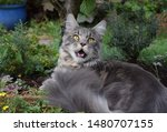 Stock photo  portrait of a main coon cat 1480707155