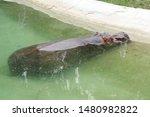 Hippopotamus or hippo is a...