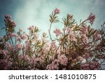 light pink nerium oleander...   Shutterstock . vector #1481010875
