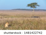 Lioness In The Long Red Oat...
