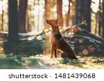 Stock photo a beautiful malinois shepherd dog is sitting in the rays of light in the forest silhouette of a 1481439068