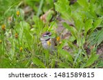 The Field Sparrow Is A...