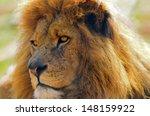 head shot of a lion  panthera... | Shutterstock . vector #148159922