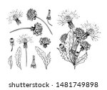 Flowering dandelion freehand vector illustrations set. Spring honey plant, hand drawn wildflower twigs. Summer flower, Taraxacum leaves, buds monochrome engraving. Postcard, poster design element
