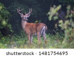 White Tailed Deer Buck On An...