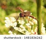 Tabanus bromius (Band-eyed brown horsefly)