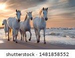 Herd Of White Horses Running...