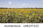 Field Of Sunflowers On A...