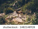Roe deer in Sierra de Grazalema national park, Cadiz, Andalusia, Spain.