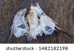 Dead Seagull Tangled In Plasti...