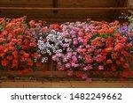 Lush And Colorful Geranium...