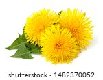 Dandelions Flowers With...