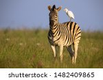 Zebra Standing On A Hill With...