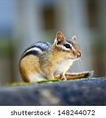 Wild Chipmunk Close Up...