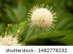 Buttonbush Is Native To An...