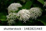 White Small Ixora Flower. Genus ...