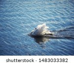 Small photo of white swan puff up in the water