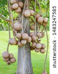Fruit Of Cannonball Tree  Or...