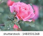rose flower on background... | Shutterstock . vector #1483531268