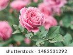 rose flower on background... | Shutterstock . vector #1483531292