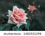 rose flower on background... | Shutterstock . vector #1483531298