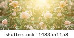 Stock photo rose flower blooming on background blurry roses flower nature roses garden 1483551158