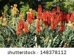 Red Hot Poker Flowers  Kniphofia
