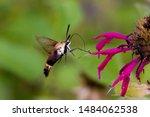 Hummingbird Moth Eating Nectar...