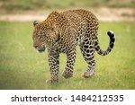 Male Leopard Walks Across Grass ...