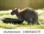 Feeding Time For Baby Kangaroo...